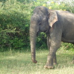 Sri_Lanka_yala_national_park_elephant