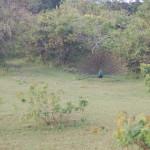 Sri_Lanka_yala_national_park_peacocks