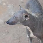 Sri_Lankan_Ugly_Dog