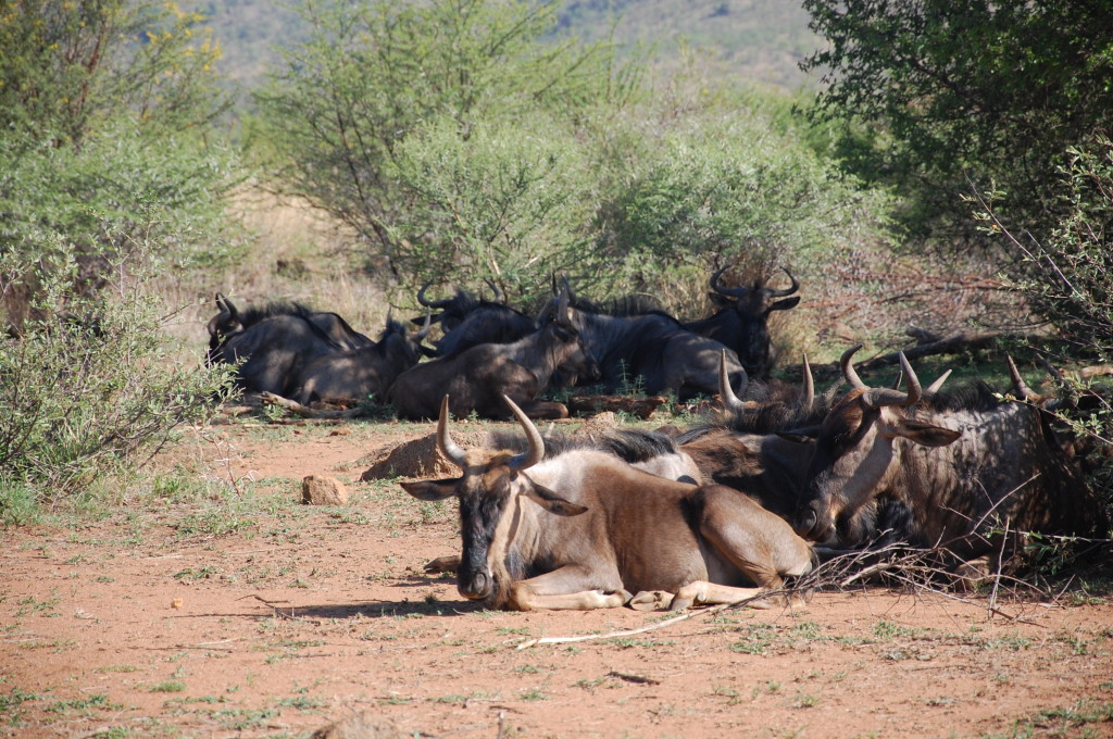 Wildabeest Pilanesberg National Park