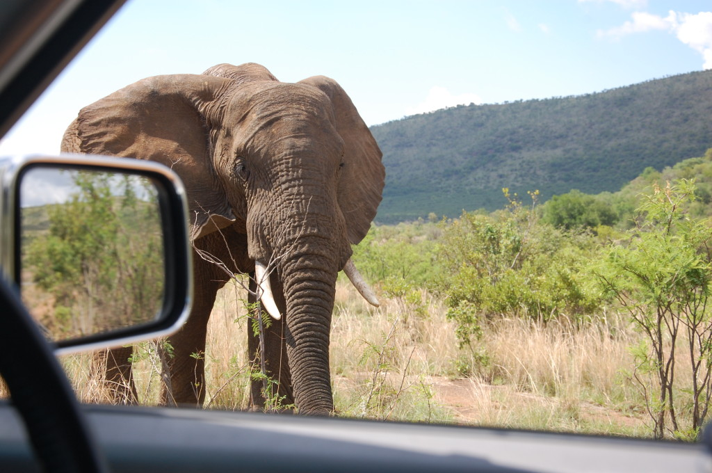 Elephant Pilanesberg National Park