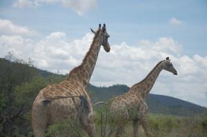 Giraffe Pilanesberg National Park