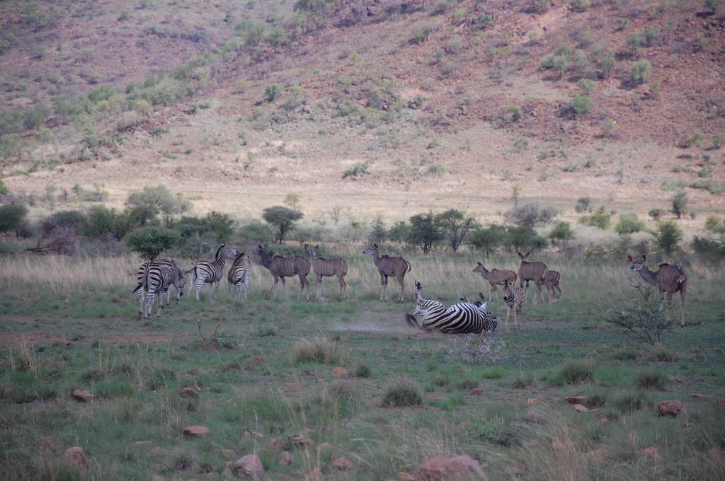 Zebra Pilanesberg National Park