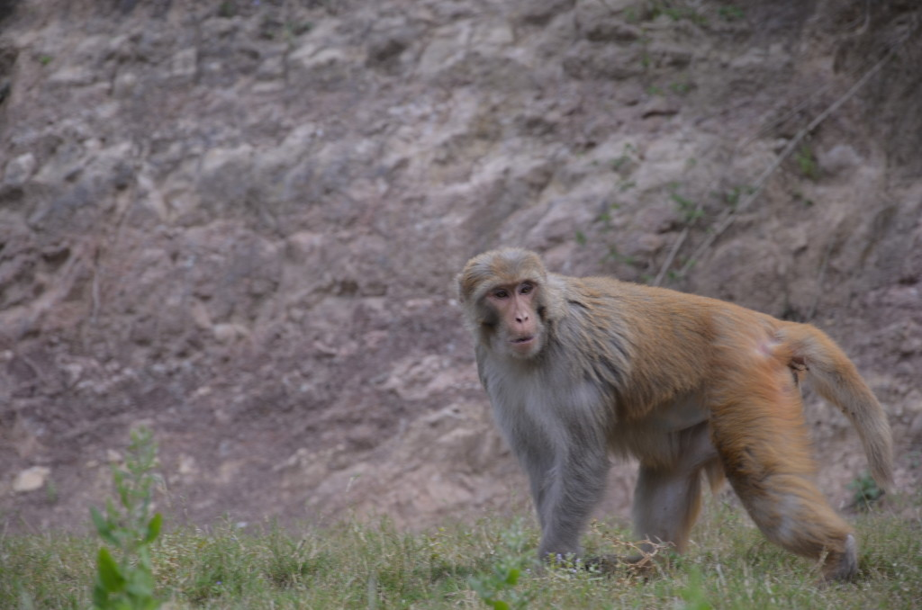Monkey in Katra, India