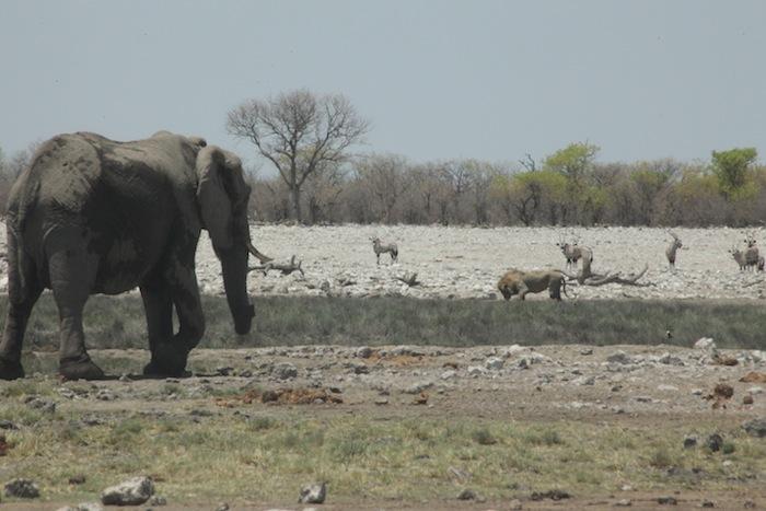 elephant and lion etosha namibia
