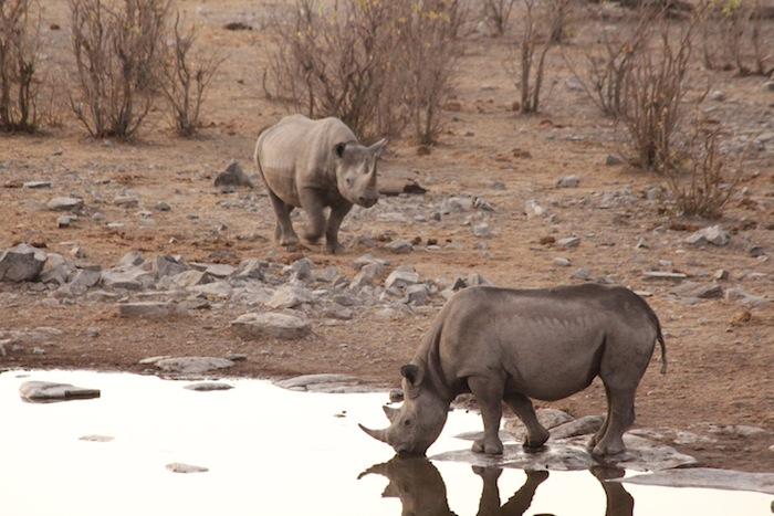 rhino etosha 2 namibia