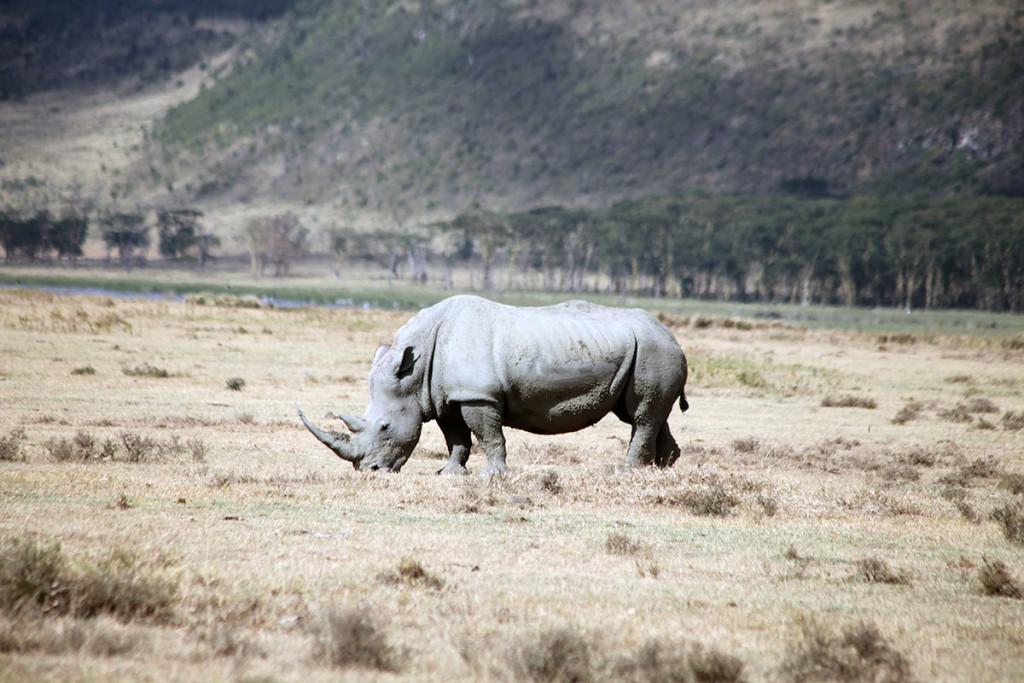 Lake Nakuru rhino 2