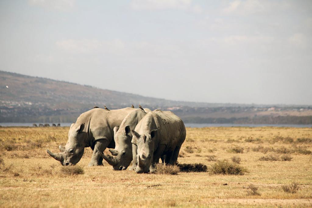 Lake Nakuru rhinos 1