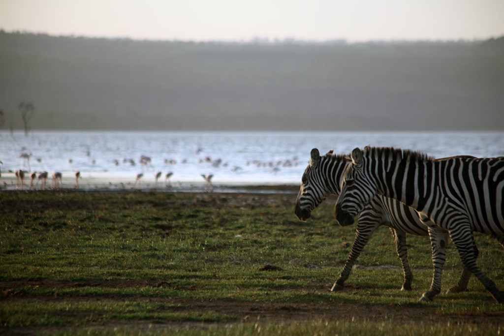 Lake Nakuru zebras 2