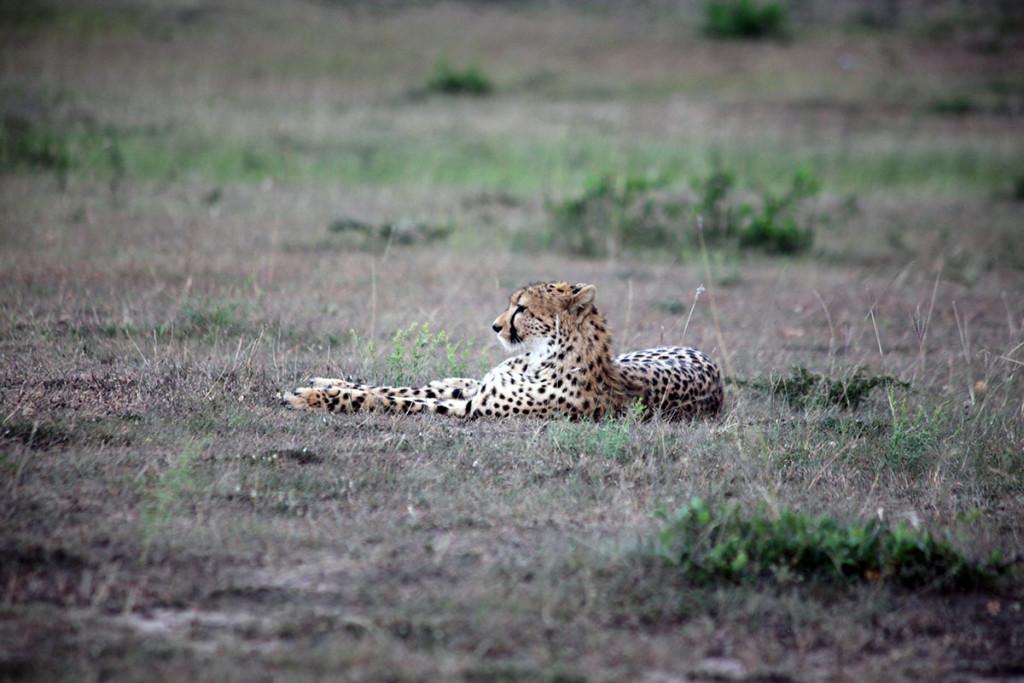 Masai Mara cheetah 1