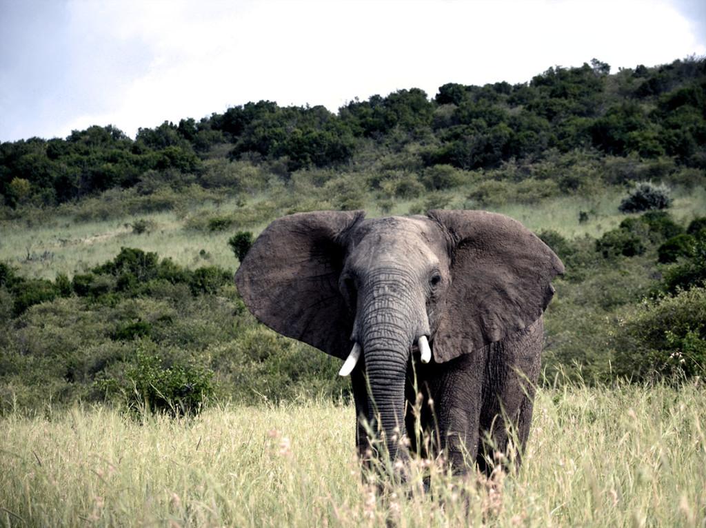 Masai Mara elephant 1