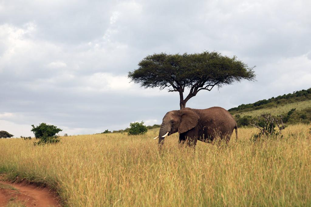 Masai Mara elephant 2
