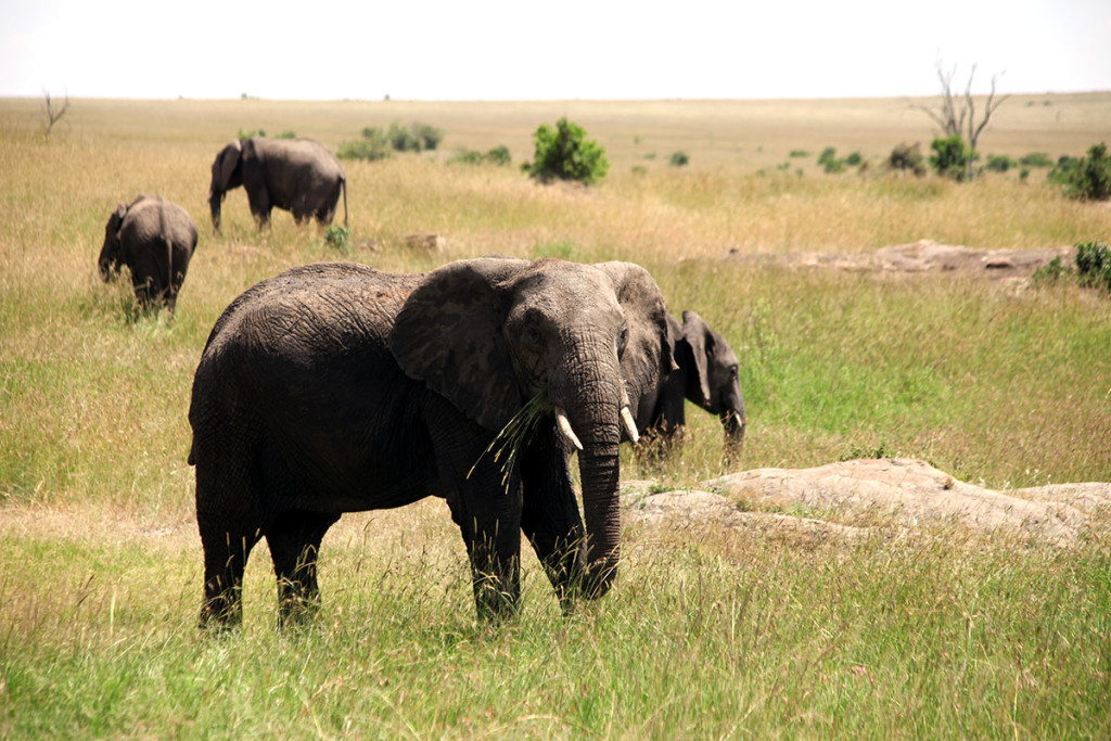 Masai Mara elephant 3