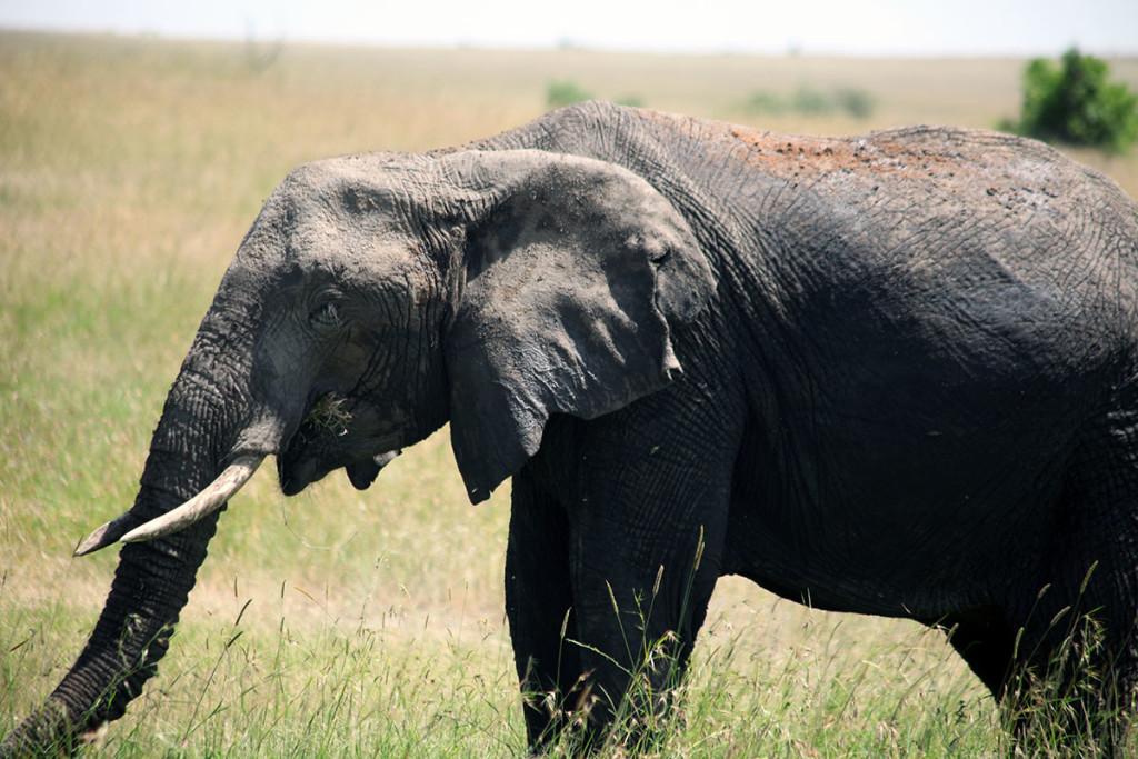 Masai Mara elephant 4