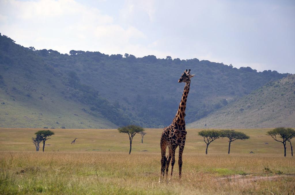 Masai Mara giraffe 1