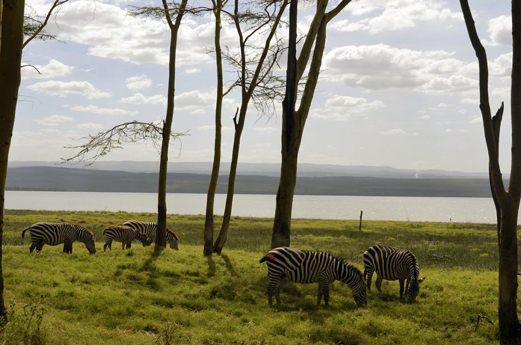 zebras in nakuru